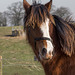 Shire horse (1)