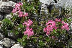 Rhododendron hirsutum, Behaarte Alpenrose - 2017-07-20_D4_DSC2826
