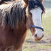 Shire horse (2)