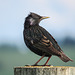 European Starling / Sturnus vulgaris