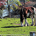 Draught Horse On Local Farm.
