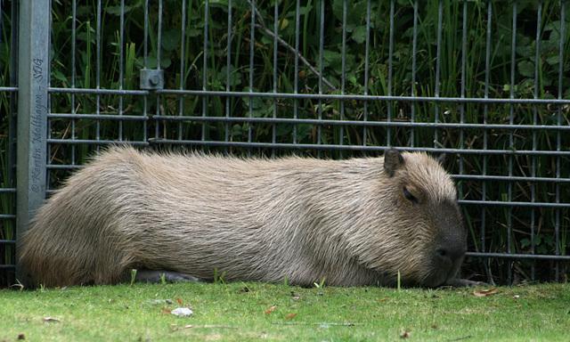Es war einmal ... ein Wasserschwein - 2007 (Wilhelma)