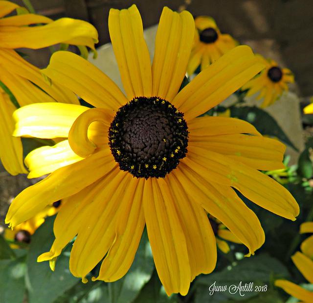 Rudbeckia fulgida 'Little Goldstar'  black-eyed susan.