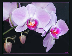 Beauty of orchids... ©UdoSm
