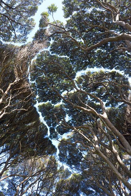 Tree tops Manuka