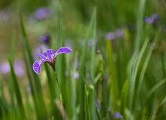 Élégant Iris d'eau