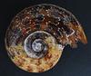 Ammonite Fossil (Explored)
