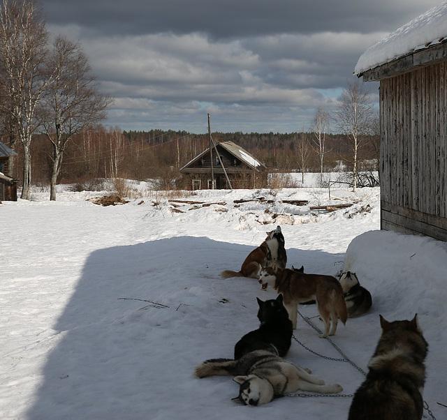 "Kostroma region. Kennel Husky ""Northern Hope"""