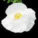 White Poppy by My Lovely Wife