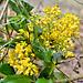 Gewöhnliche Mahonie (Berberis aquifolium)