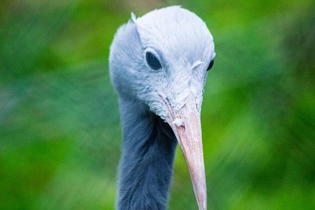 Blue crane (1)
