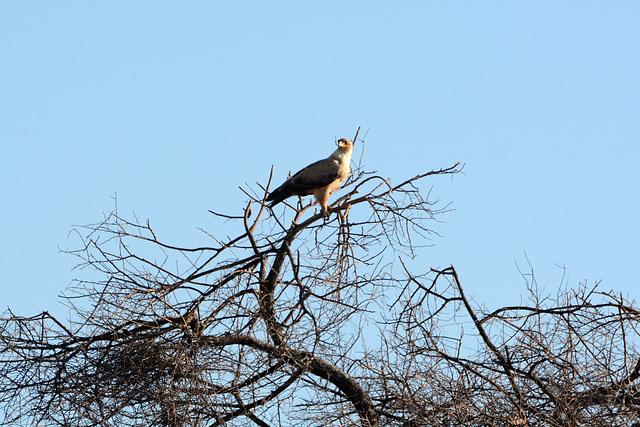 Namibia, Erindi Game Reserve, An Eagle (probably Aquila Rapax)