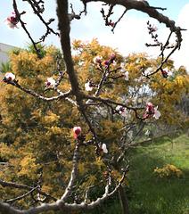 abricotier, mimosa