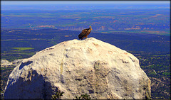 Griffon vulture and view, first uploaded 2018. H. A. N. W. E. everyone!