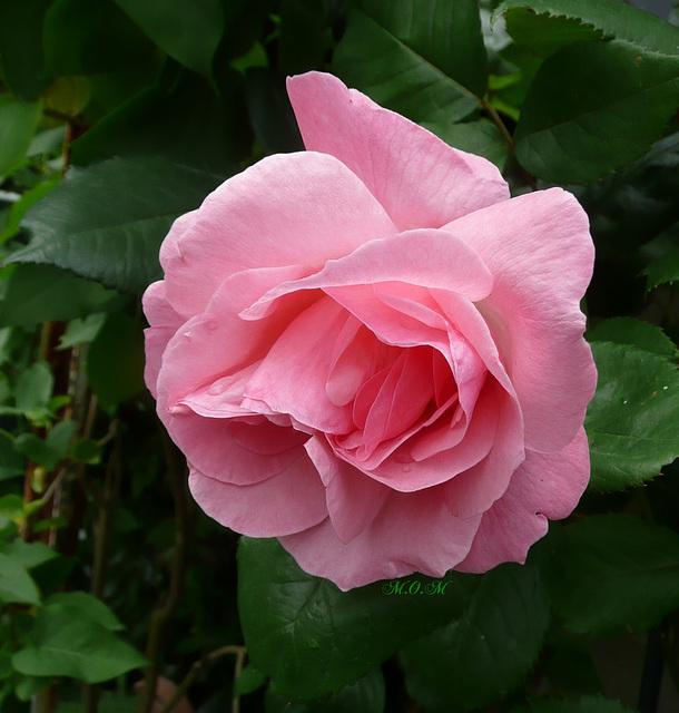 Mes roses de juin...