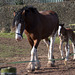 Shire horse and foal2