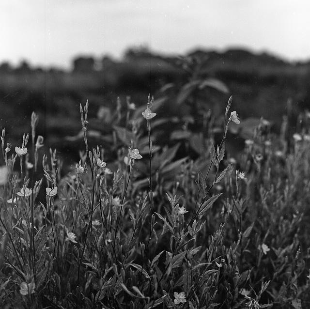 Petites fleurs_Oenothera rosea