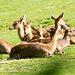 Brow antler deer (1)