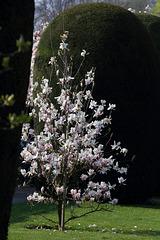 Magnolienbusch (Wilhelma)