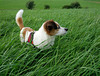 Jack Russell Terrier Clifford