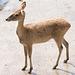 Brow antler deer
