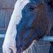 Shire horse close up