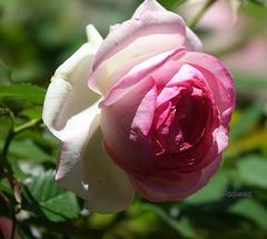 Pour vous tous cette belle rose