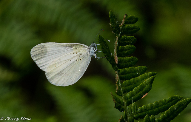 Wood White in Kehria Forest