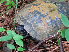 Maybe a mud turtle