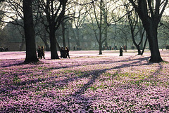 Husum - Krokusblüte