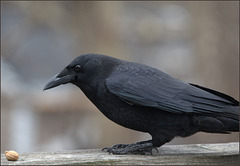A crow on my rail yesterday