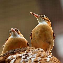 Töpfervögel