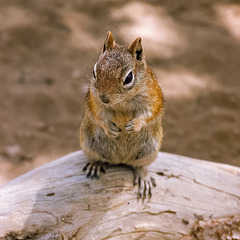 Bryce Canyon - Squirrel - 1986