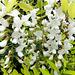 Scheinakazie oder Robinie (Robinia pseudoacacia).  ©UdoSm