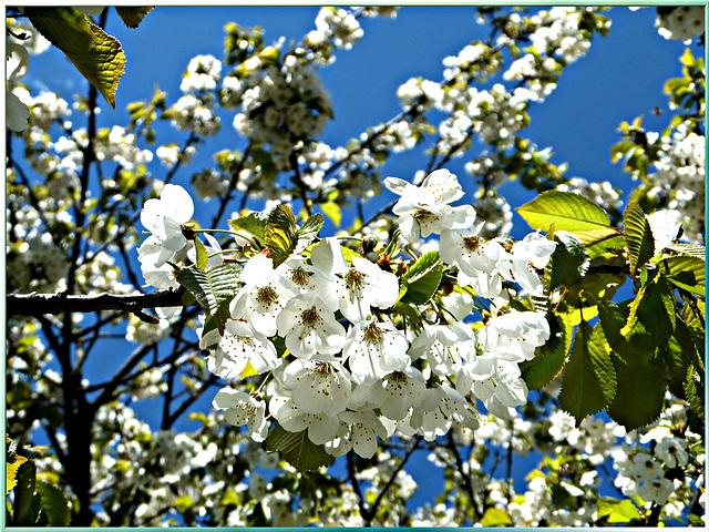 Kirschblüten. ©UdoSm