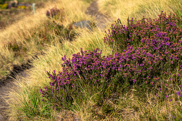 Here comes the heather