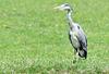 Grey heron (2 of 3).