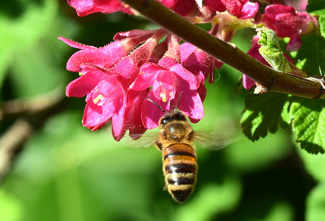 Biene vor der Johannisbeerblüte