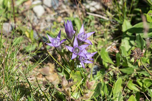 Gentiana germanica, Deutscher Enzian - 2016-07-30_D4_DSC8582