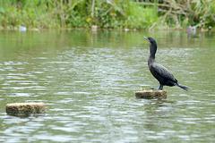 Guatemala, Black Cormorant in the Chocón Machacas Protected Biotope