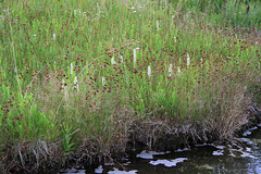 Hooded Ladies' Tresses along the Gibbon River