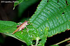 (Cricket 2) A Gryllacridid Bush-cricket
