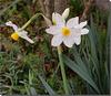 Narcissus tazetta.