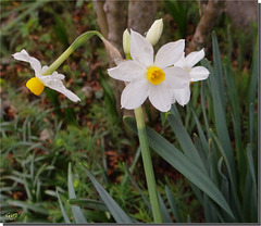 Narcissus tazetta.
