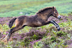 Flying through the heather!!