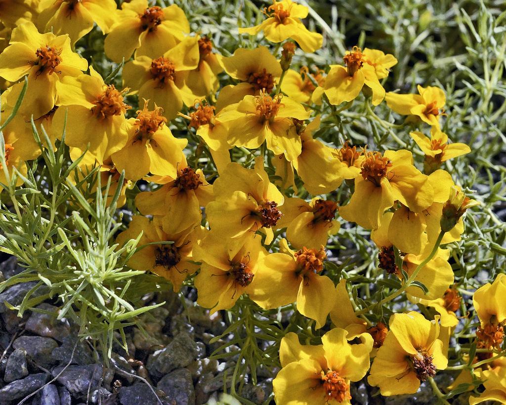 Zinnia Grandiflora – Alpine Garden, Botanical Garden, Montréal, Québec