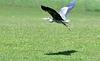 Grey heron (3 of 3).