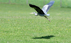 Grey heron (3 of 3).