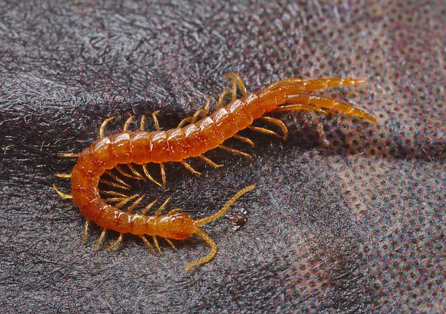 Centipede IMG_1947.