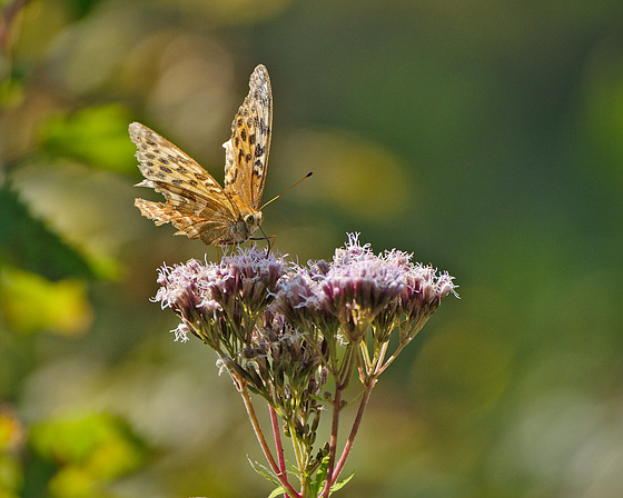 Butterfly, Oberhaslach, Alsace, France - 2017-08-28 1230929